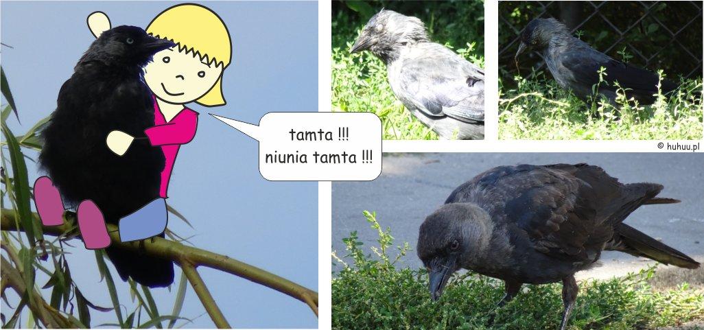 Kawka, najważniejszy ptak w okolicy!