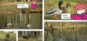 Kulka poznaje kaczki krzyżówki