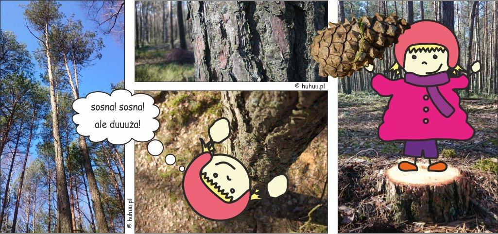 Sosna zwyczajna w naszym lesie